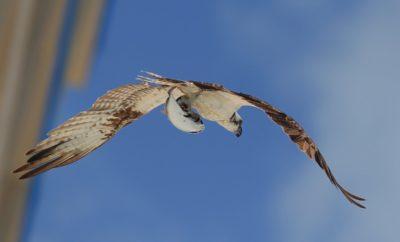 Águila Pescadora (Fher Nuñez)